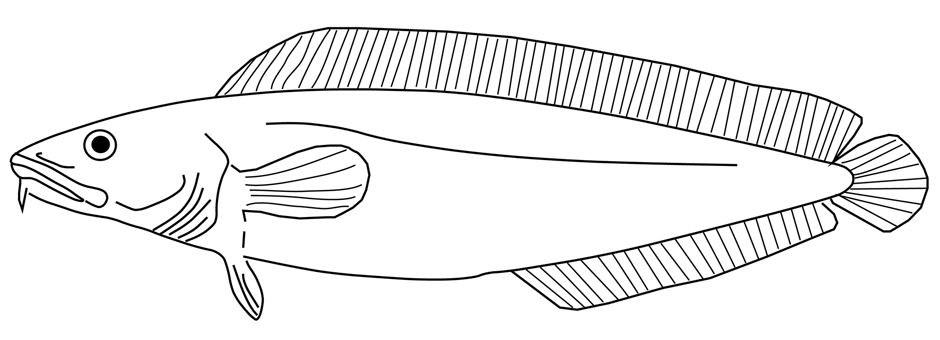Fig. 1: Cusk (Brosme brosme). Illustration courtesy of Jeff Varanyak. Cusk are relatives of cod and hake and can grow up to 1m and weigh up over 10 kg.