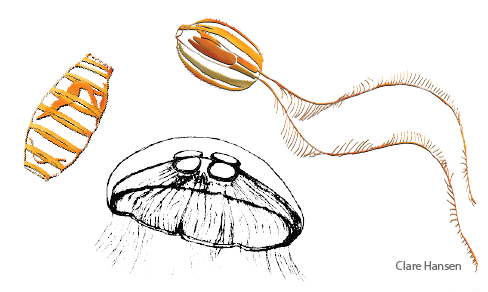 Illustration of a salp, jellyfish, and comb jelly