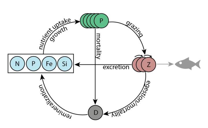 Simple NPZD food-web model schematic